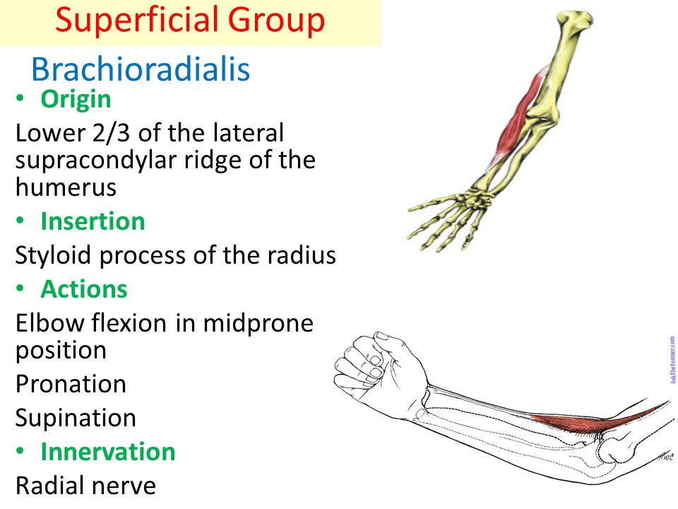 Superficial Group Brachioradialis Origin