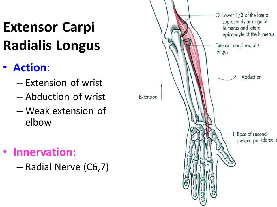 Extensor Carpi Radialis Longus