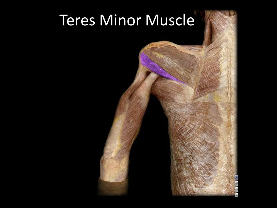 Teres Minor Muscle Gray's anatomy for students (GS): pg. 656