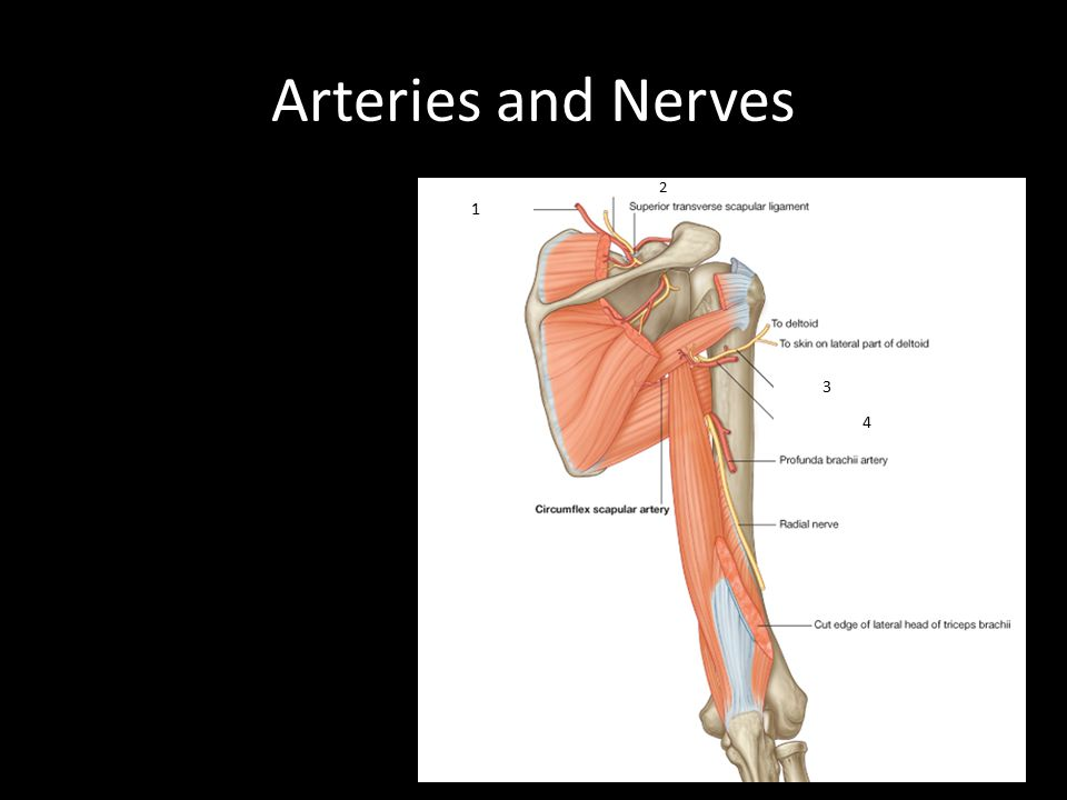 Arteries and Nerves