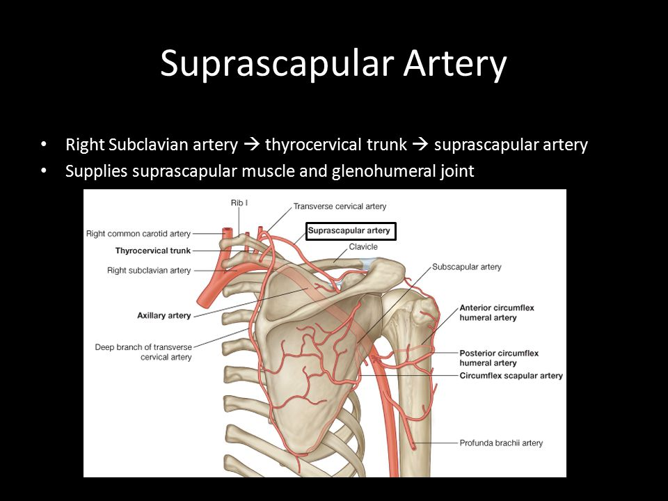 Suprascapular Artery Right Subclavian artery  thyrocervical trunk  suprascapular artery. Supplies suprascapular muscle and glenohumeral joint.