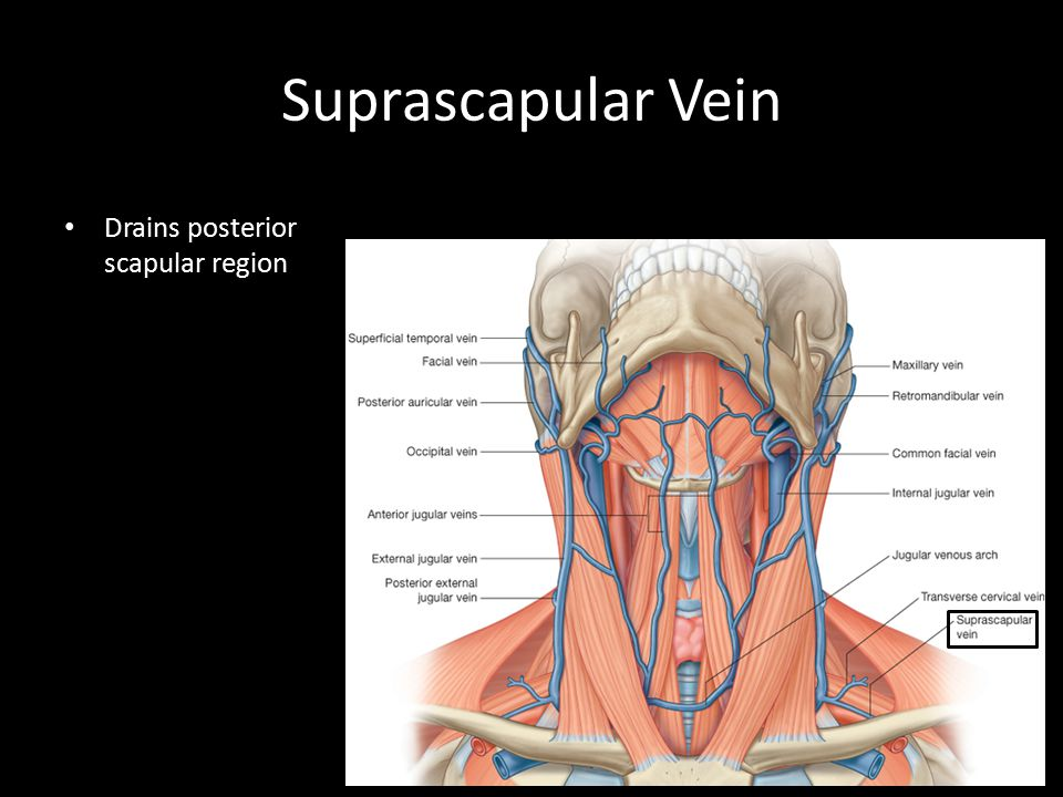 Suprascapular Vein Drains posterior scapular region Greater tubercle