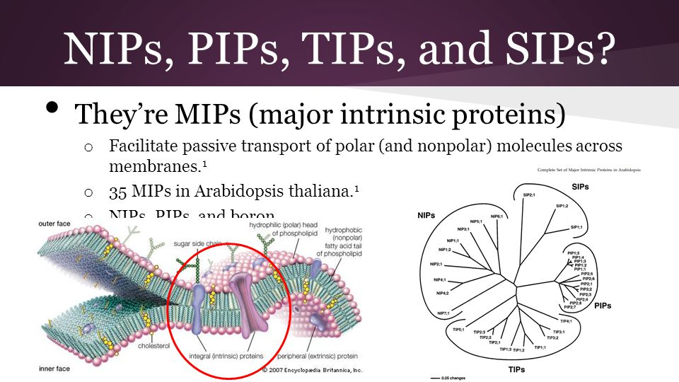 NIPs, PIPs, TIPs, and SIPs They're MIPs (major intrinsic proteins)