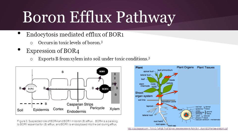Boron Efflux Pathway Endocytosis mediated efflux of BOR1