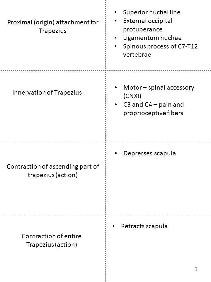 External occipital protuberance Ligamentum nuchae