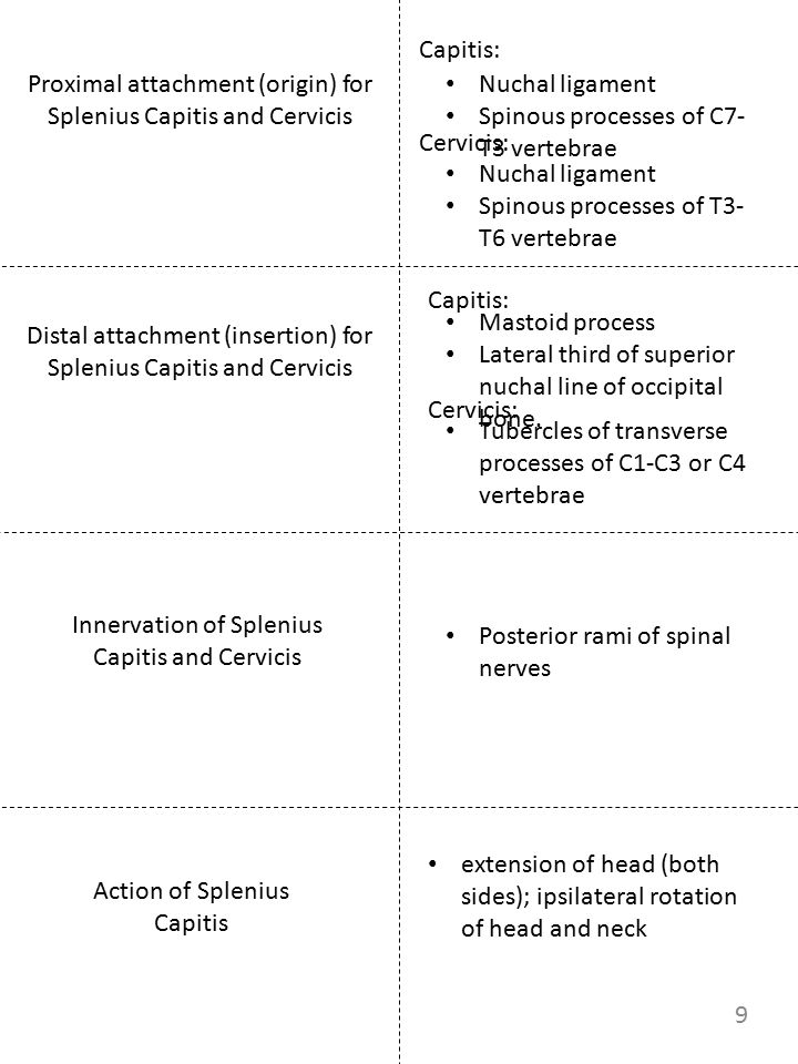 Proximal attachment (origin) for Splenius Capitis and Cervicis