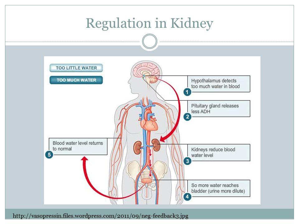 Regulation in Kidney http://vasopressin.files.wordpress.com/2011/09/neg-feedback3.jpg