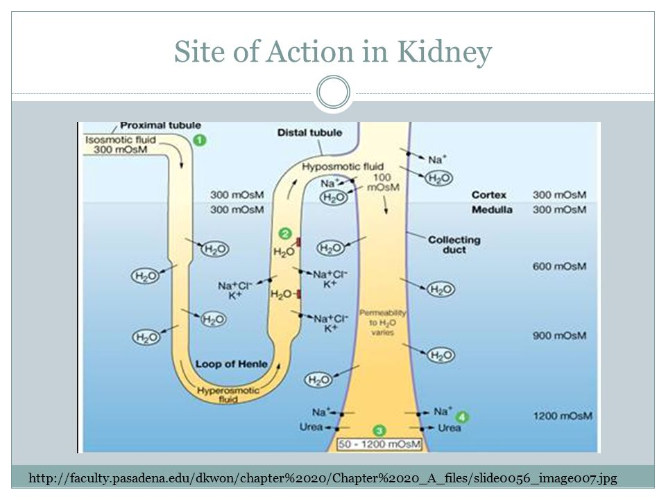Site of Action in Kidney