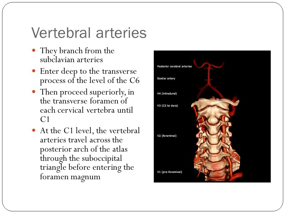 Vertebral arteries They branch from the subclavian arteries