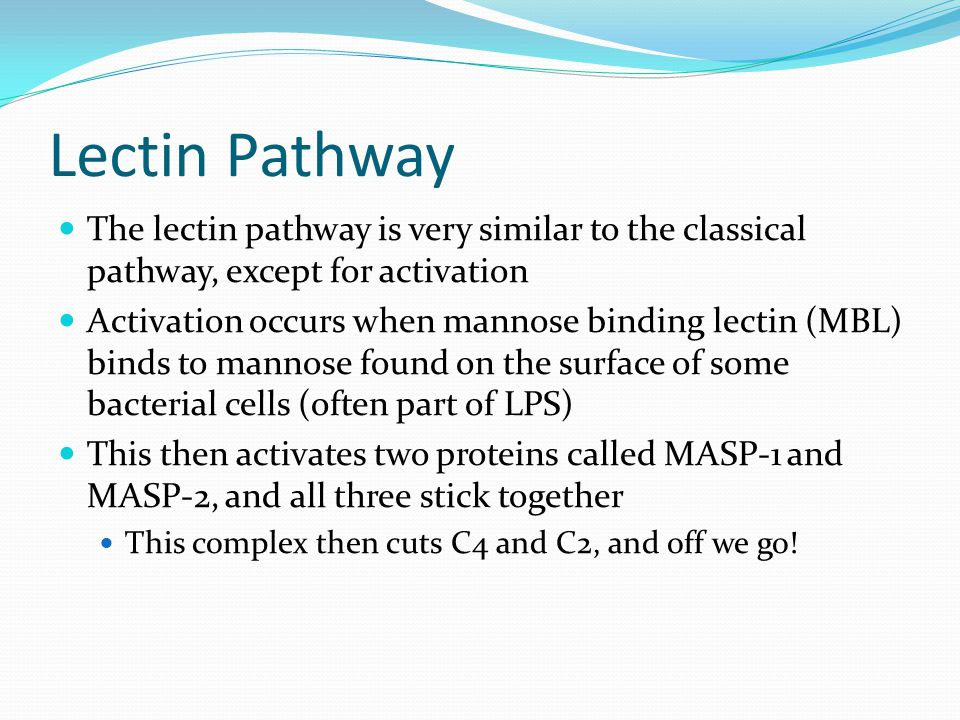 Lectin Pathway The lectin pathway is very similar to the classical pathway, except for activation.