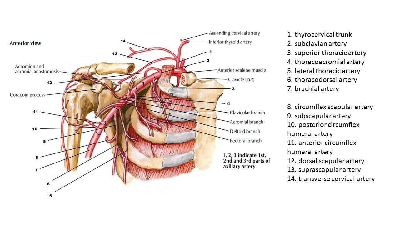 1. thyrocervical trunk 2. subclavian artery 3