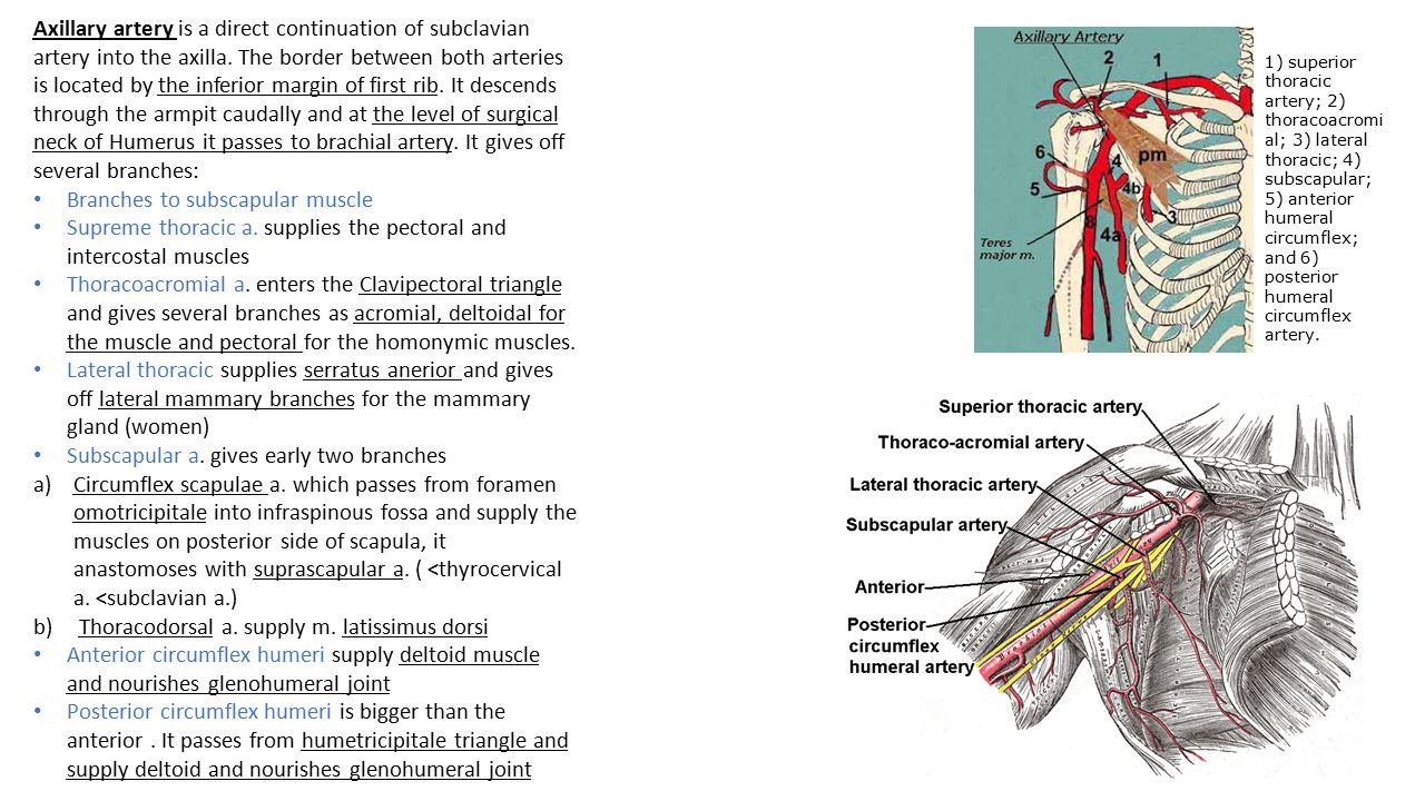 Branches to subscapular muscle