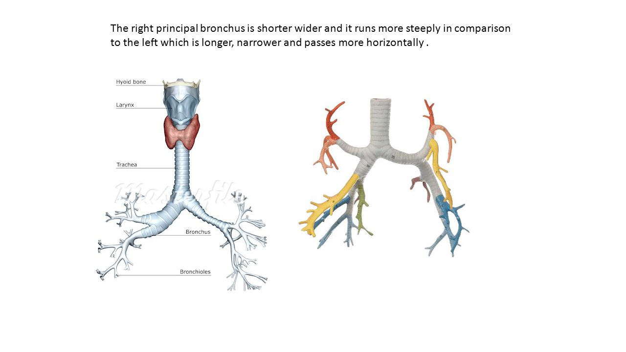 The right principal bronchus is shorter wider and it runs more steeply in comparison to the left which is longer, narrower and passes more horizontally .