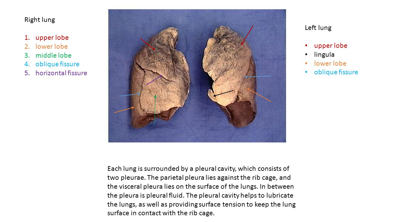 Right lung anatomy 6950783 - follow4more.info