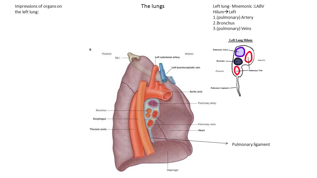 The lungs Impressions of organs on the left lung: