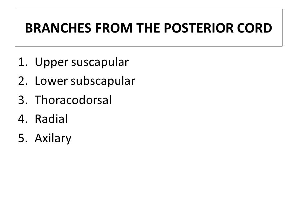 BRANCHES FROM THE POSTERIOR CORD