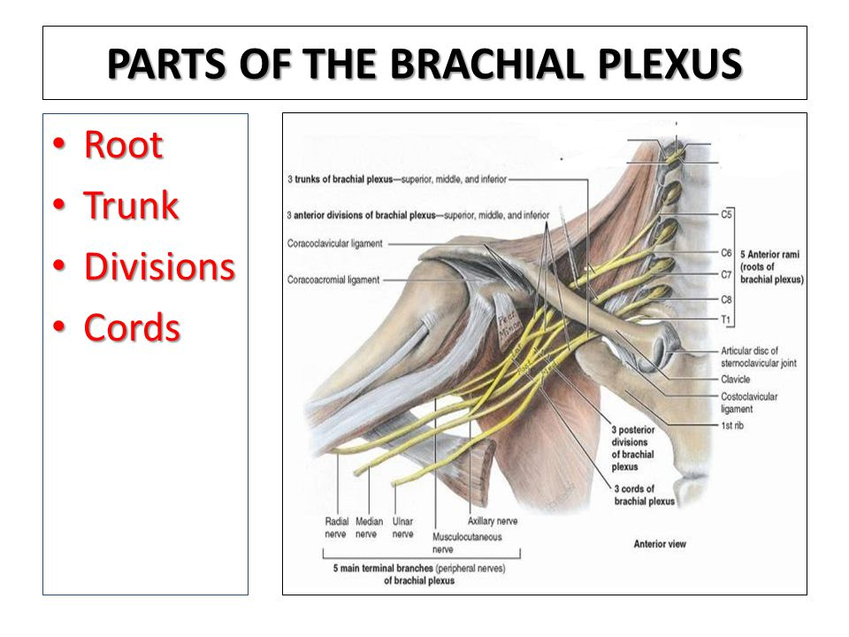 PARTS OF THE BRACHIAL PLEXUS