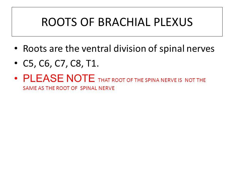 ROOTS OF BRACHIAL PLEXUS
