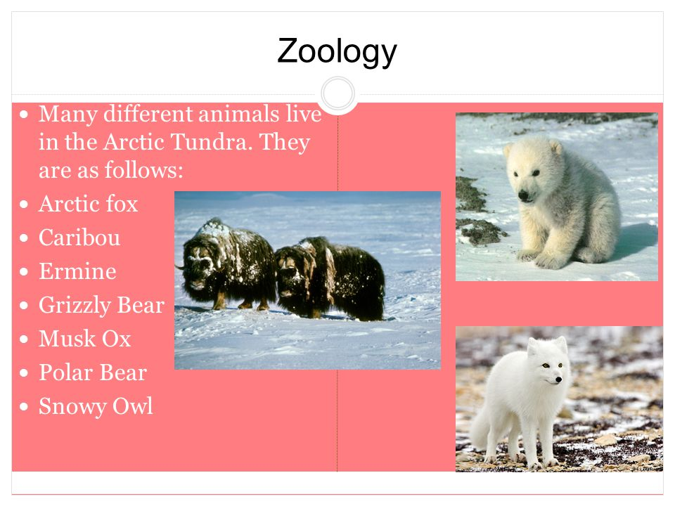 Zoology Many different animals live in the Arctic Tundra. They are as follows: Arctic fox. Caribou.