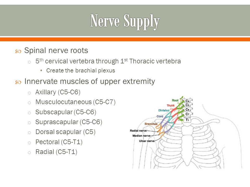 Nerve Supply Spinal nerve roots Innervate muscles of upper extremity