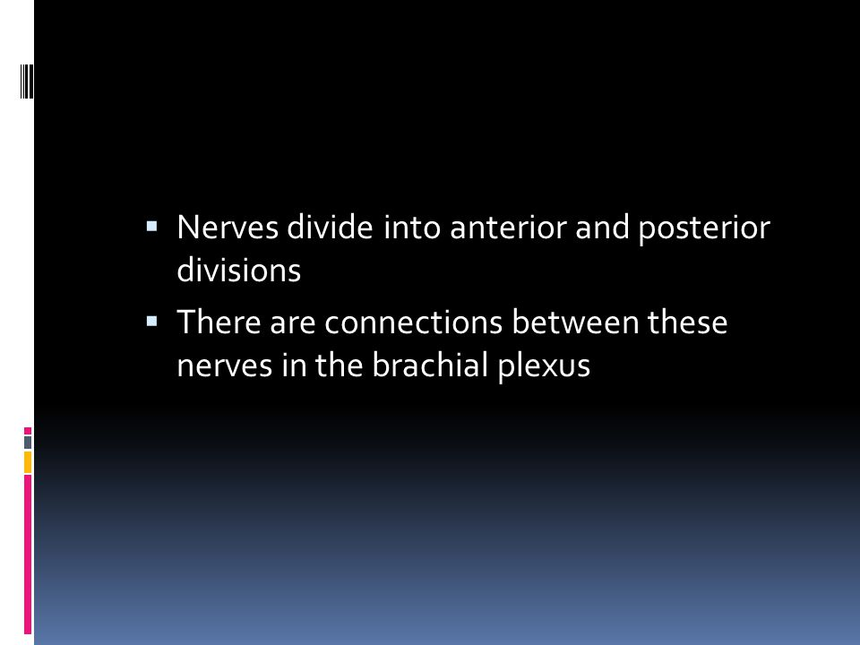 Nerves divide into anterior and posterior divisions