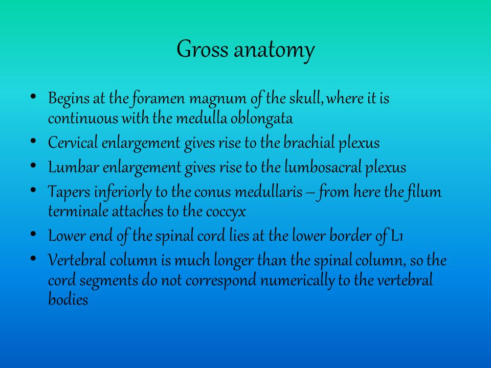 Gross anatomy Begins at the foramen magnum of the skull, where it is continuous with the medulla oblongata.