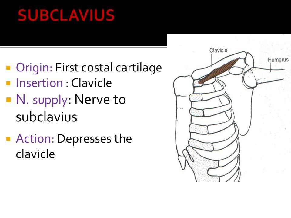 SUBCLAVIUS N. supply: Nerve to subclavius