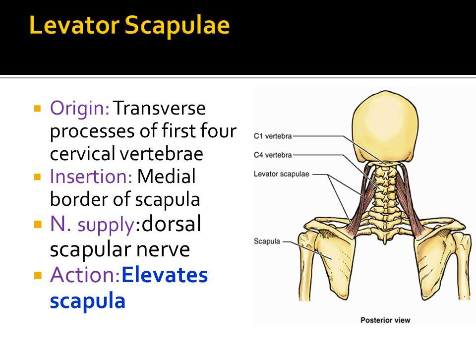 Levator Scapulae N. supply:dorsal scapular nerve