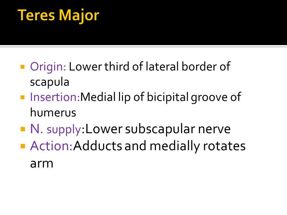 Teres Major N. supply:Lower subscapular nerve
