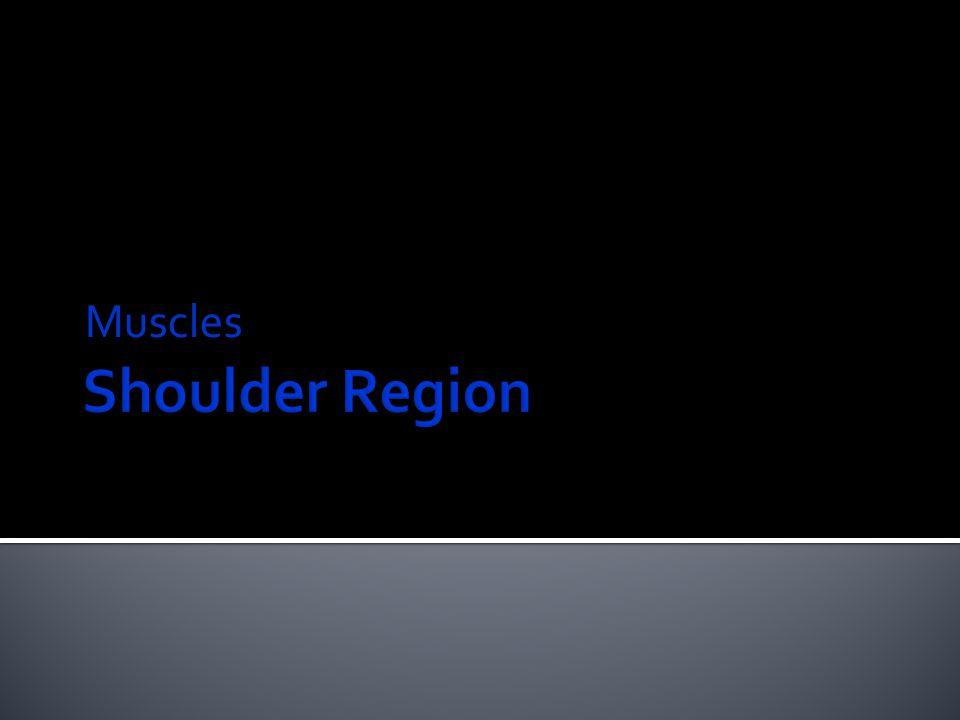 Muscles Shoulder Region