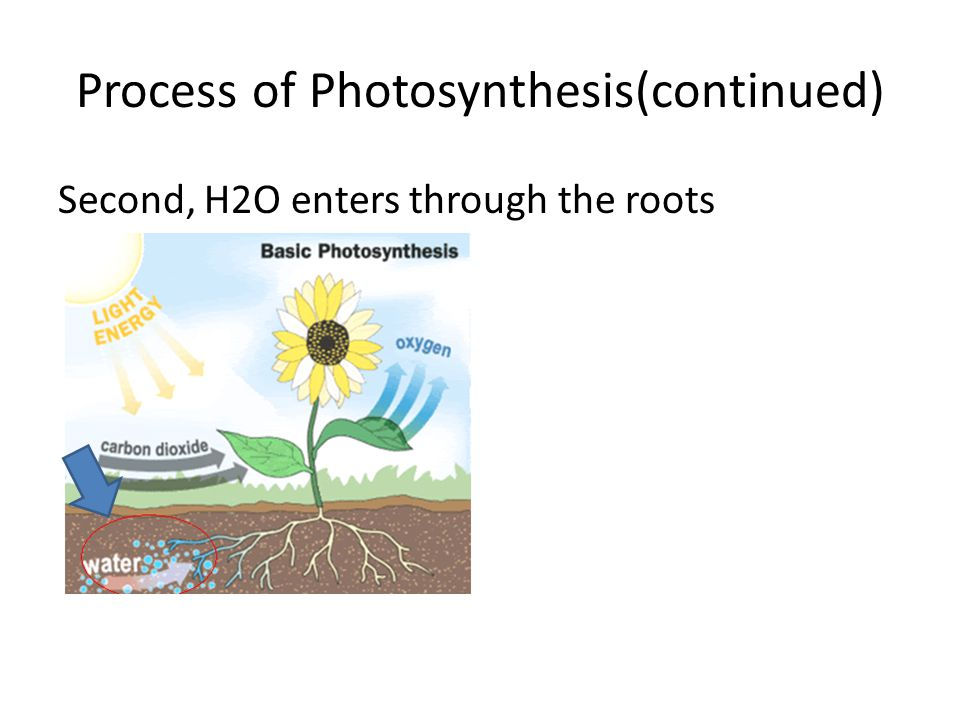 Process of Photosynthesis(continued)