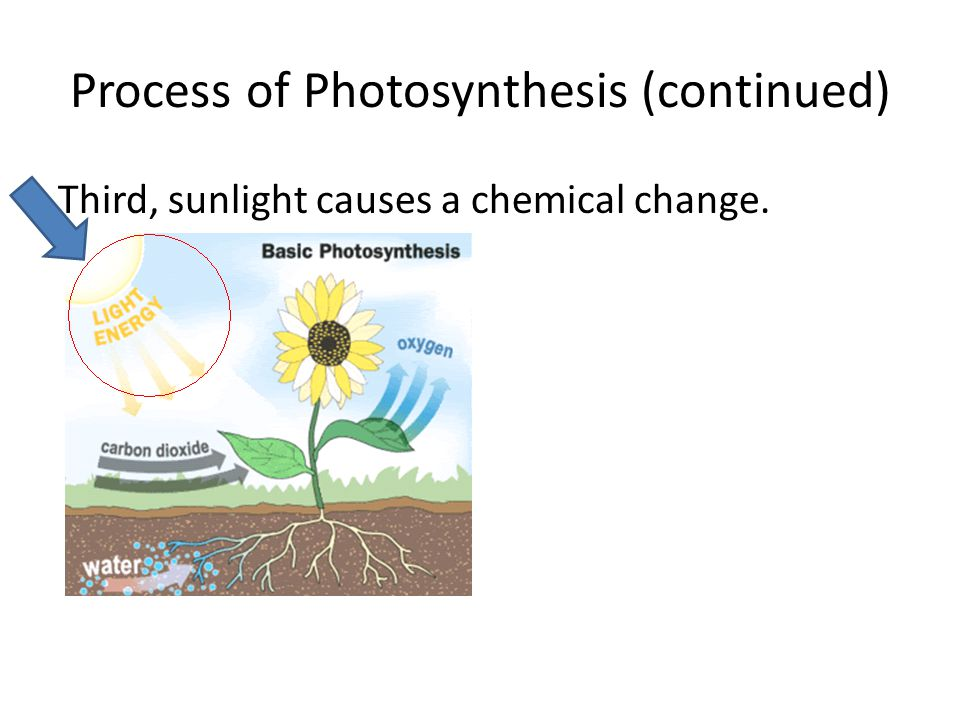 Process of Photosynthesis (continued)