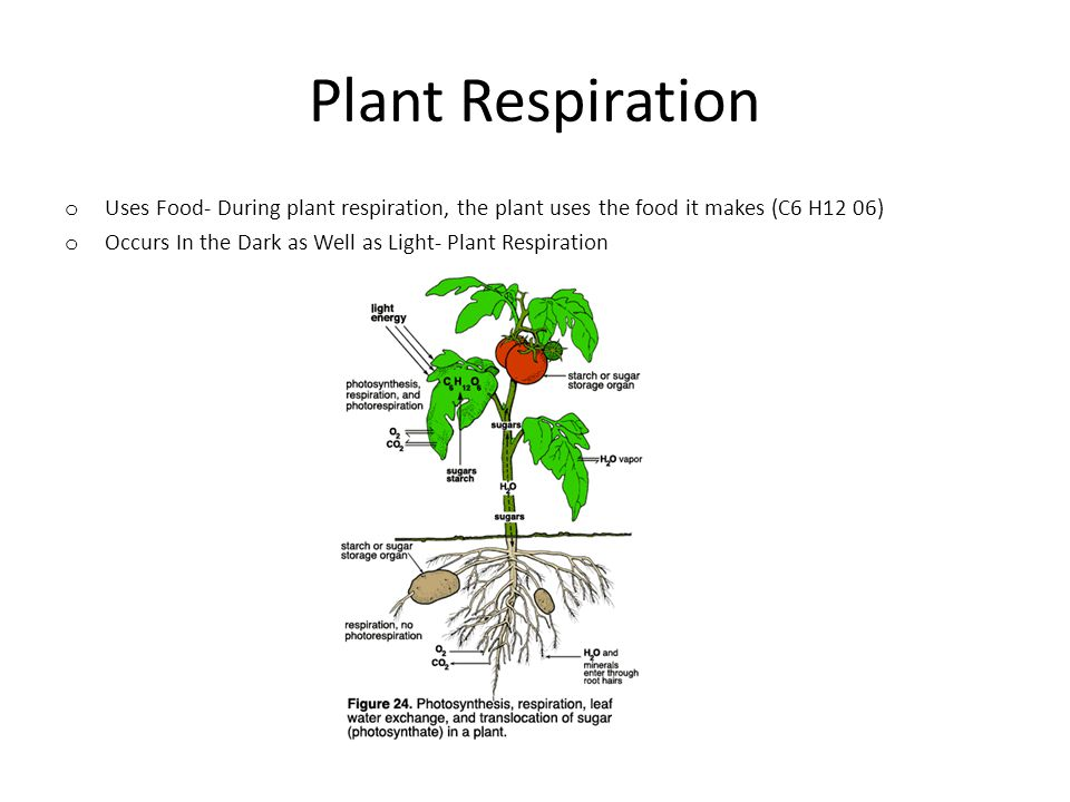 Plant Respiration Uses Food- During plant respiration, the plant uses the food it makes (C6 H12 06)