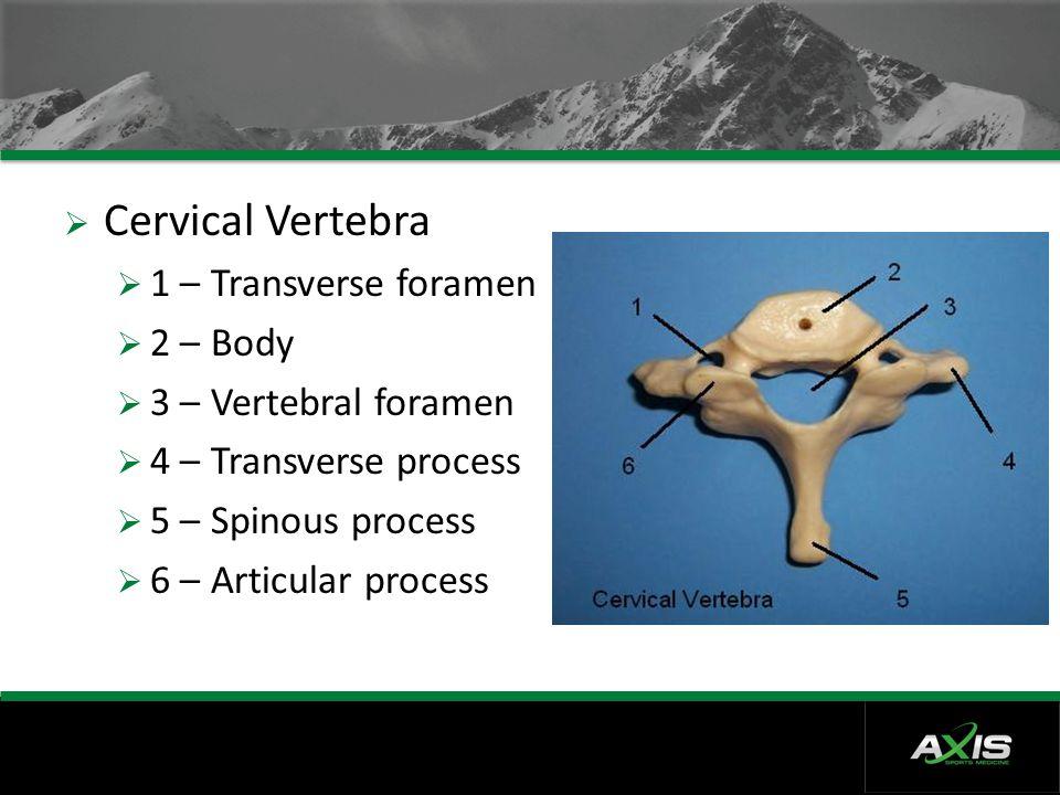 Cervical Vertebra 1 – Transverse foramen 2 – Body
