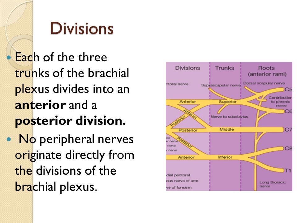 Divisions Each of the three trunks of the brachial plexus divides into an anterior and a posterior division.