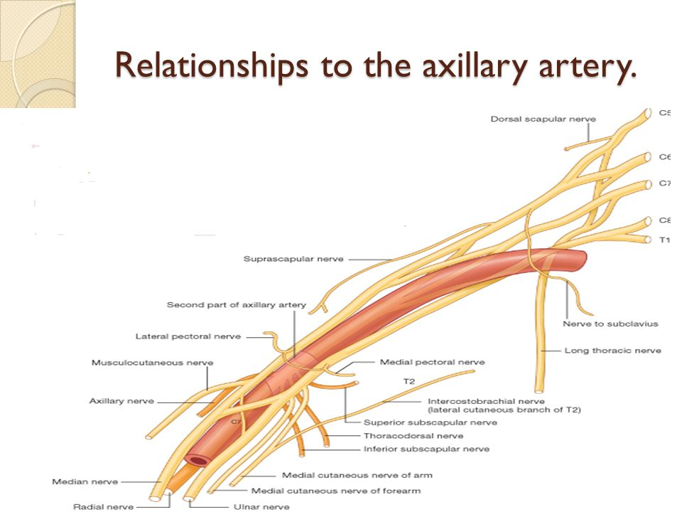 Relationships to the axillary artery.