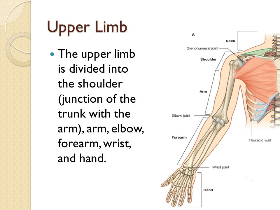 Upper Limb The upper limb is divided into the shoulder (junction of the trunk with the arm), arm, elbow, forearm, wrist, and hand.