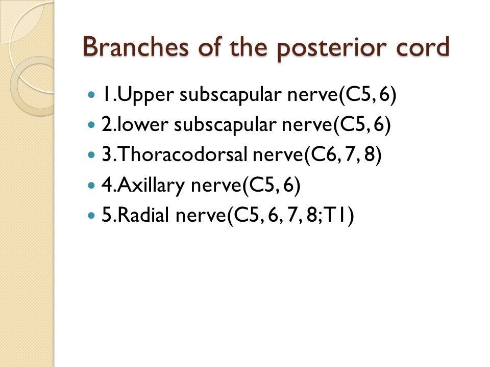 Branches of the posterior cord