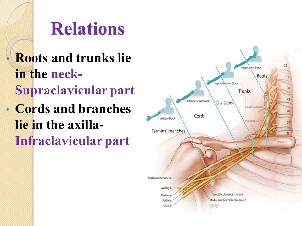 Relations Roots and trunks lie in the neck- Supraclavicular part