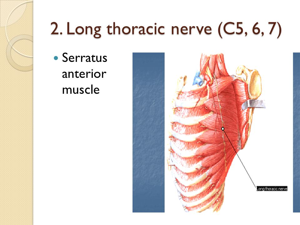 2. Long thoracic nerve (C5, 6, 7)