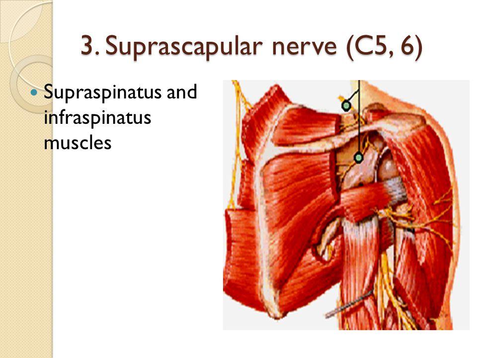 3. Suprascapular nerve (C5, 6)