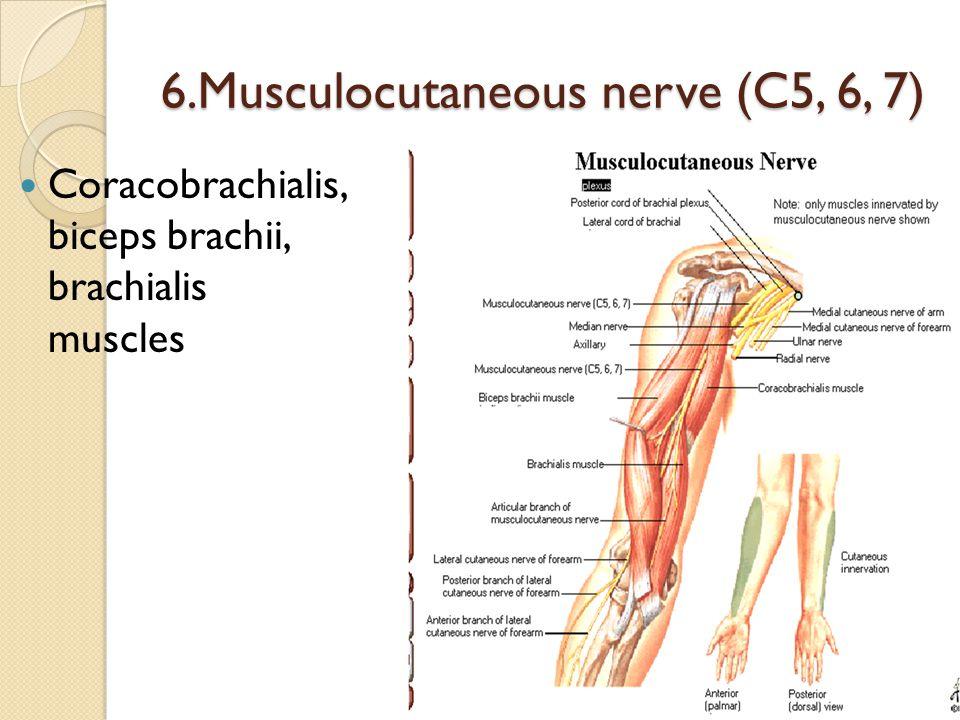 6.Musculocutaneous nerve (C5, 6, 7)
