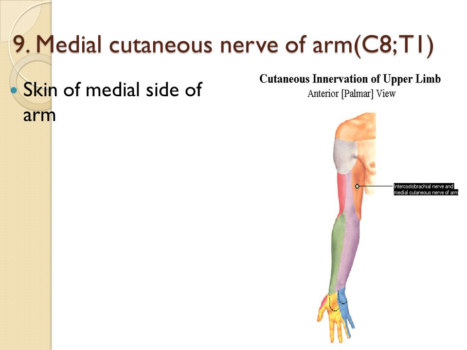 9. Medial cutaneous nerve of arm(C8; T1)