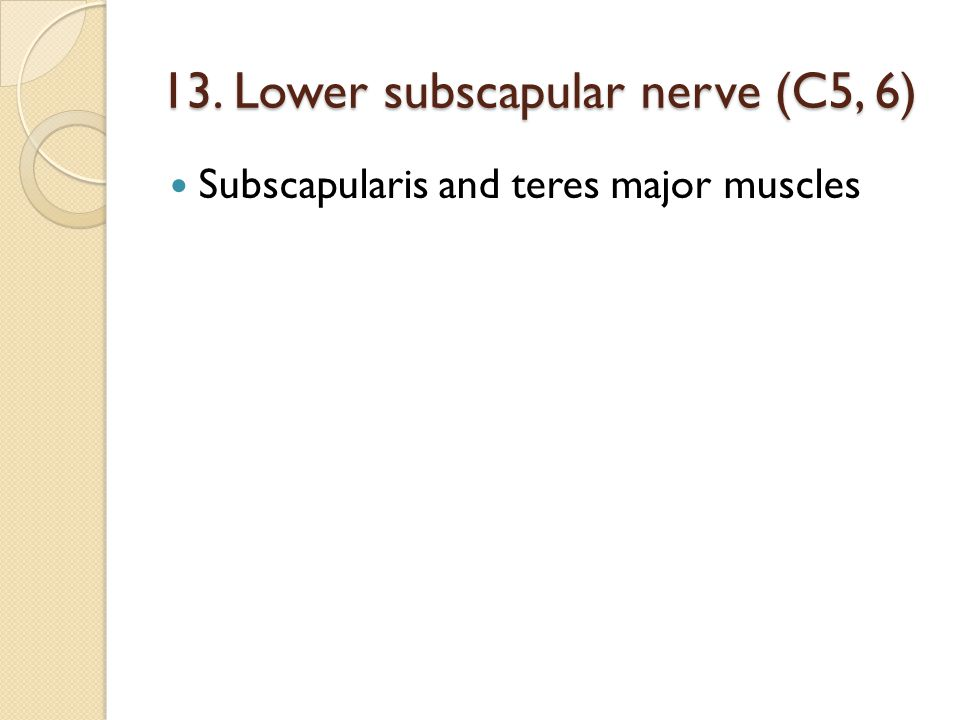 13. Lower subscapular nerve (C5, 6)