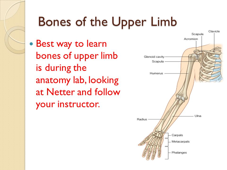 Bones of the Upper Limb Best way to learn bones of upper limb is during the anatomy lab, looking at Netter and follow your instructor.