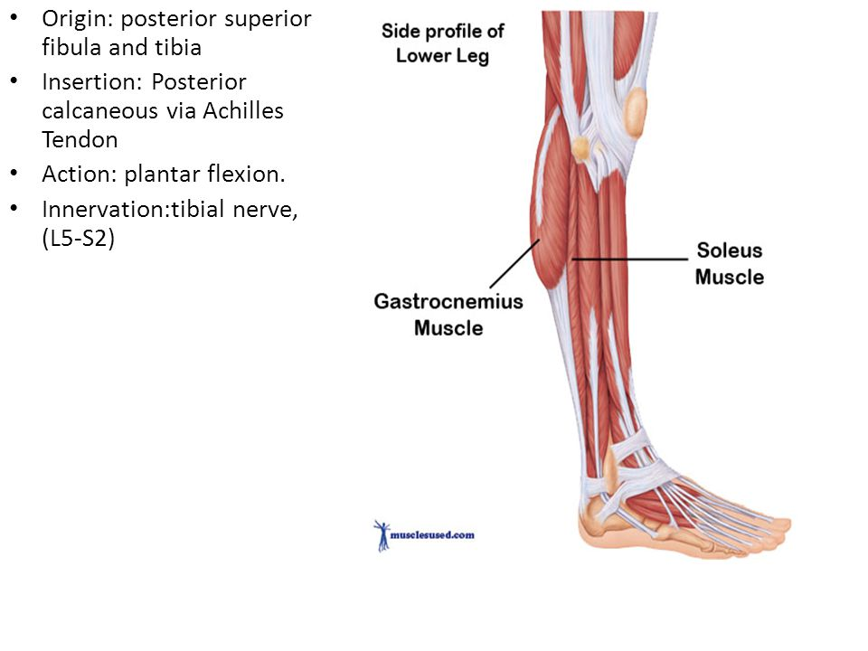 Soleus Origin: posterior superior fibula and tibia