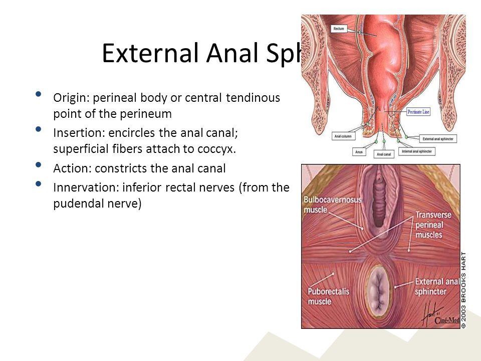 External Anal Sphincter
