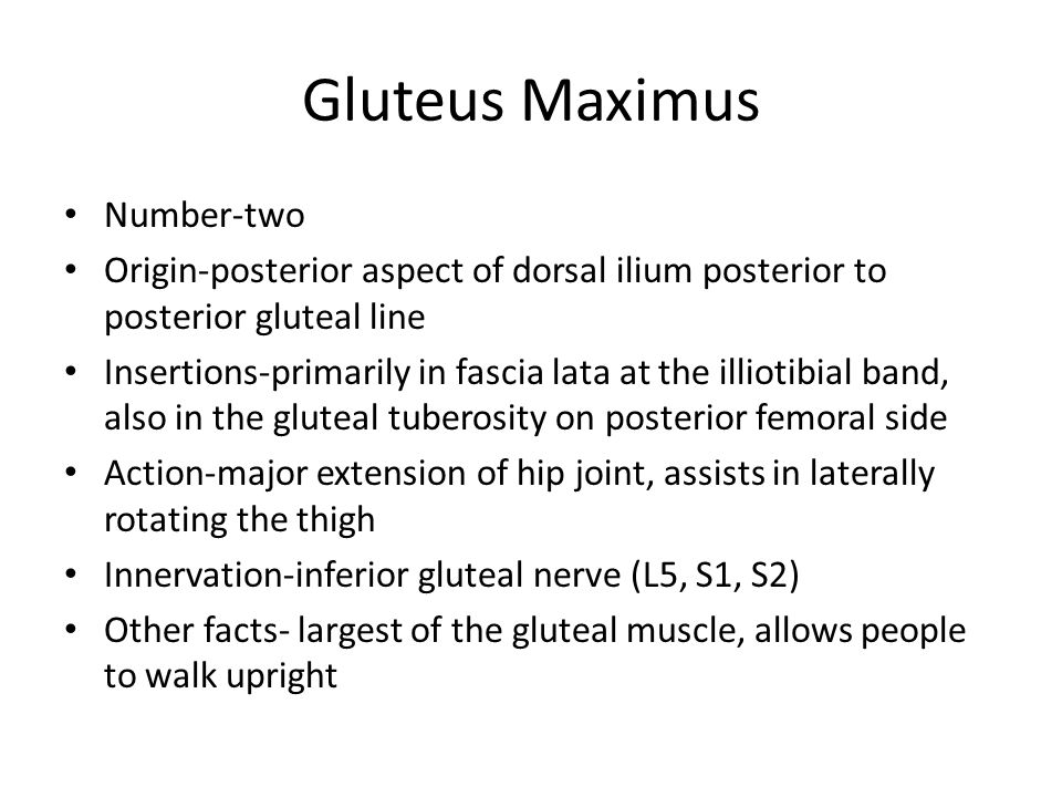Gluteus Maximus Number-two