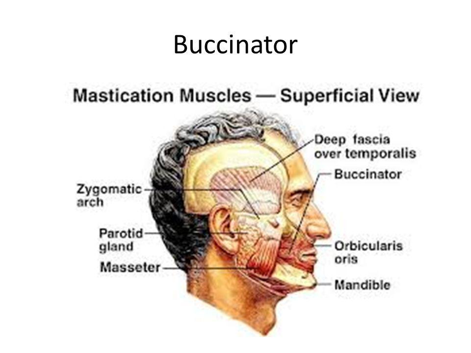 Buccinator