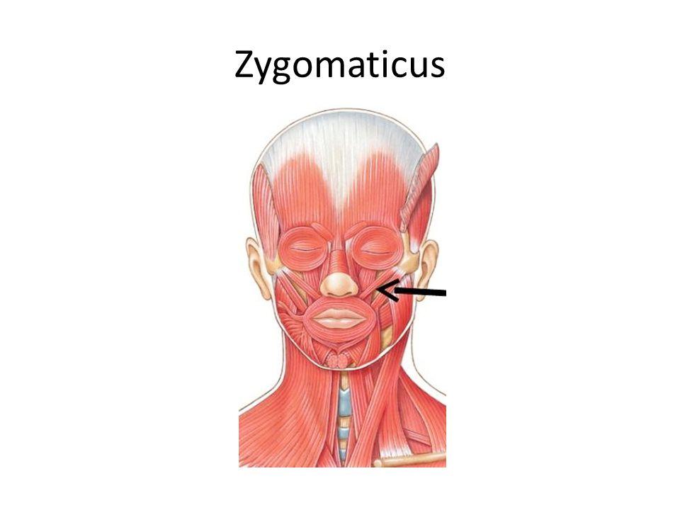 Zygomaticus